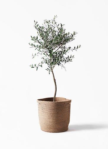 観葉植物 オリーブの木 7号 創樹 リブバスケットNatural 付き