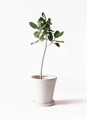 観葉植物 フィカス ベンガレンシス 8号 ストレート サブリナ 白 付き