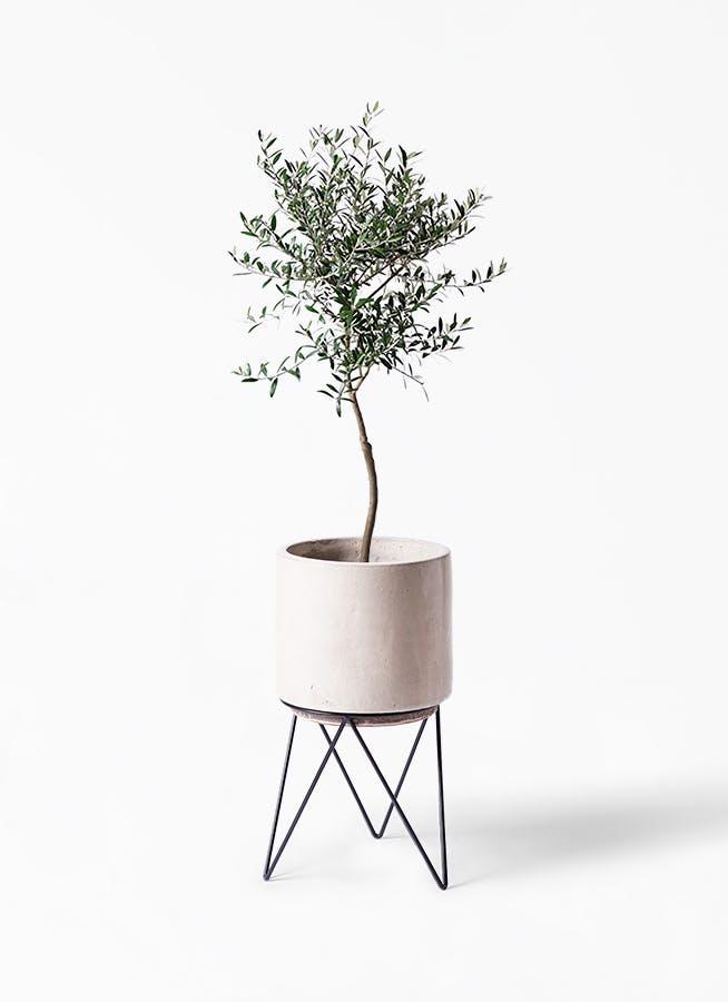 観葉植物 オリーブの木 7号 創樹 ビトロ エンデカ クリーム アイアンポットスタンド ブラック 付き