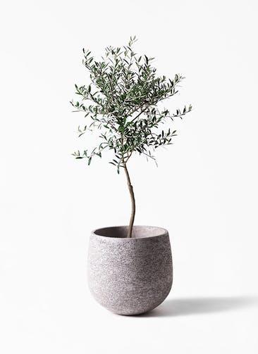 観葉植物 オリーブの木 7号 創樹 エコストーンGray 付き
