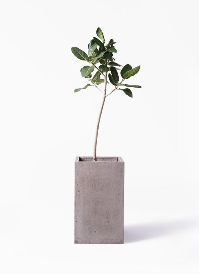 観葉植物 フィカス ベンガレンシス 8号 ストレート セドナロング グレイ 付き
