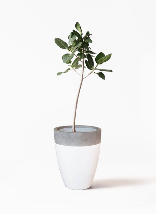 観葉植物 フィカス ベンガレンシス 8号 ストレート ファイバーストーンカプリ 白 付き