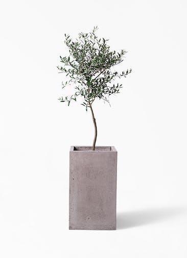 観葉植物 オリーブの木 7号 創樹 セドナロング グレイ 付き