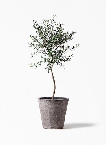 観葉植物 オリーブの木 7号 創樹 フォリオソリッド ブラックウォッシュ 付き