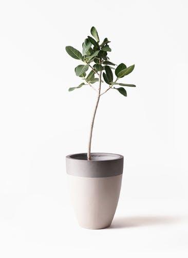 観葉植物 フィカス ベンガレンシス 8号 ストレート ファイバーストーンカプリ サンディホワイト 付き