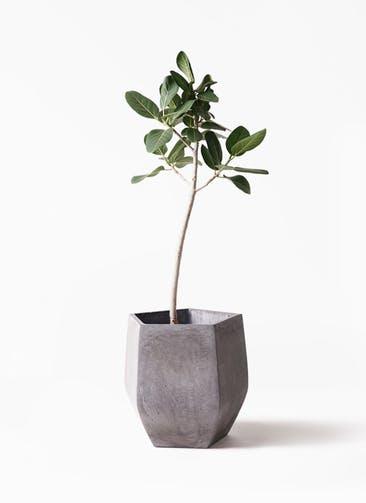 観葉植物 フィカス ベンガレンシス 8号 ストレート ファイバークレイ Gray 付き