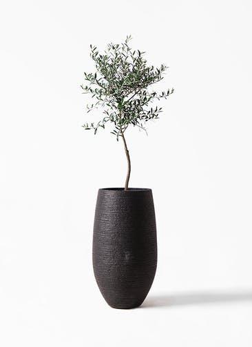観葉植物 オリーブの木 7号 創樹 フォンティーヌトール 黒 付き