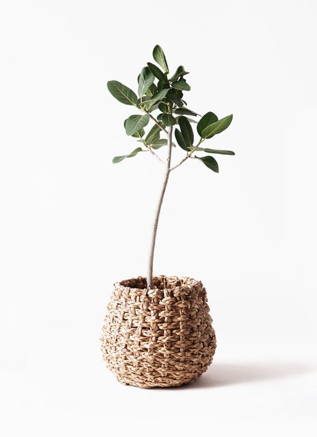観葉植物 フィカス ベンガレンシス 8号 ストレート ラッシュバスケット Natural 付き
