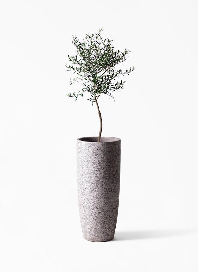 観葉植物 オリーブの木 7号 創樹 エコストーントールタイプ Gray 付き