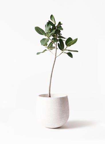 観葉植物 フィカス ベンガレンシス 8号 ストレート エコストーンwhite 付き