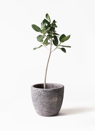 観葉植物 フィカス ベンガレンシス 8号 ストレート アビスソニアミドル 灰 付き