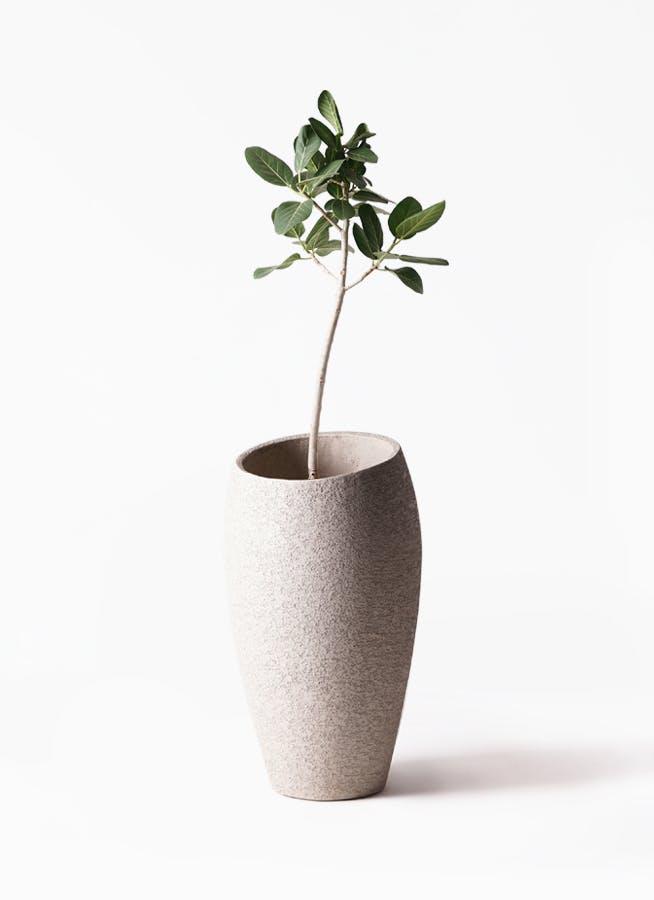 観葉植物 フィカス ベンガレンシス 8号 ストレート エコストーントールタイプ Light Gray 付き