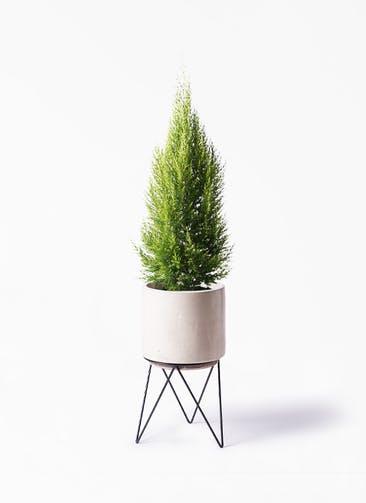 観葉植物 ゴールドクレスト 8号 ノーマル ビトロ エンデカ クリーム アイアンポットスタンド ブラック 付き