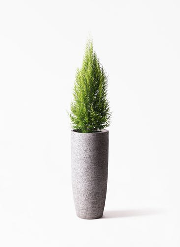 観葉植物 ゴールドクレスト 8号 ノーマル エコストーントールタイプ Gray 付き