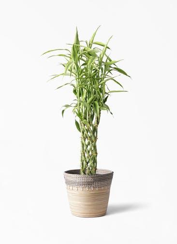観葉植物 ドラセナ ミリオンバンブー(幸運の竹) 8号 アルマ コニック 白 付き