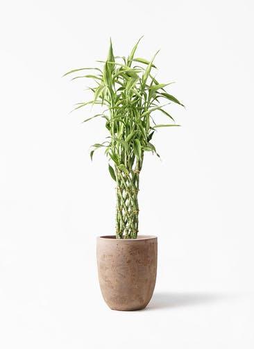 観葉植物 ドラセナ ミリオンバンブー(幸運の竹) 8号 ルーガ アンティコ アルトエッグ 付き