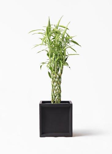 観葉植物 ドラセナ ミリオンバンブー(幸運の竹) 8号 ブリティッシュキューブ 付き