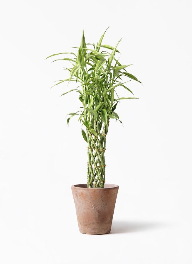 観葉植物 ドラセナ ミリオンバンブー(幸運の竹) 8号 ルーガ アンティコ ソリッド 付き