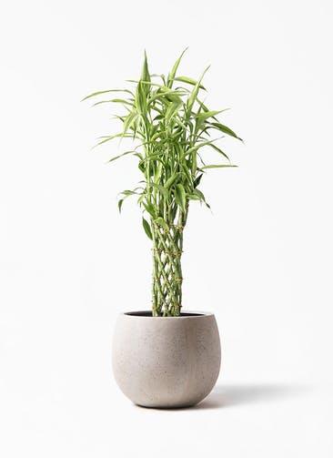 観葉植物 ドラセナ ミリオンバンブー(幸運の竹) 8号 テラニアス ローバルーン アンティークホワイト 付き