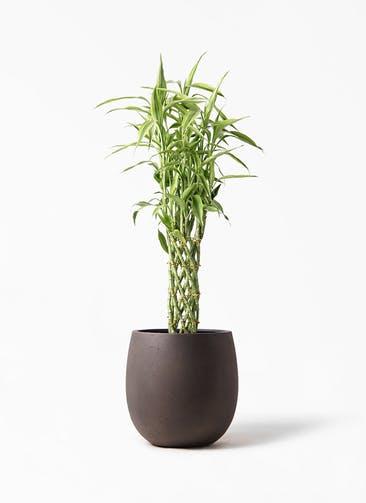 観葉植物 ドラセナ ミリオンバンブー(幸運の竹) 8号 テラニアス バルーン アンティークブラウン 付き