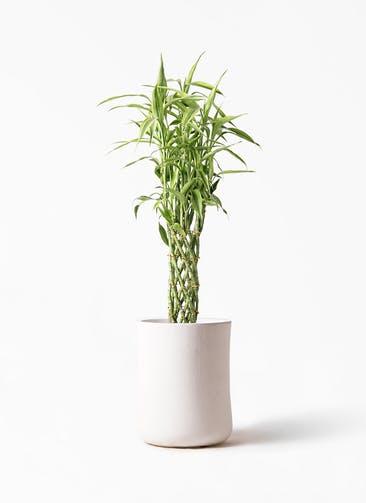 観葉植物 ドラセナ ミリオンバンブー(幸運の竹) 8号 バスク ミドル ホワイト 付き