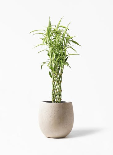 観葉植物 ドラセナ ミリオンバンブー(幸運の竹) 8号 テラニアス バルーン アンティークホワイト 付き