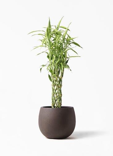 観葉植物 ドラセナ ミリオンバンブー(幸運の竹) 8号 テラニアス ローバルーン アンティークブラウン 付き