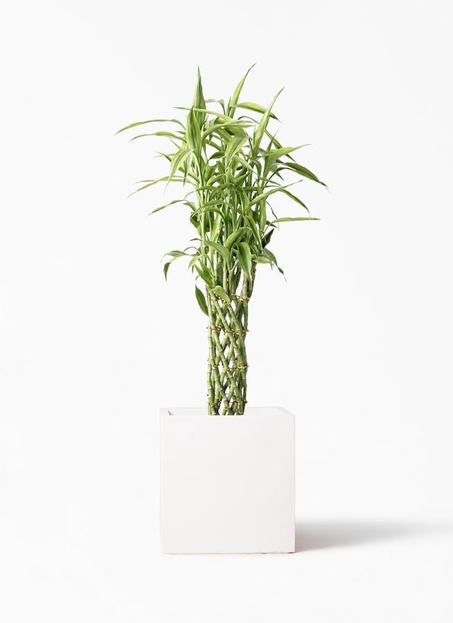観葉植物 ドラセナ ミリオンバンブー(幸運の竹) 8号 バスク キューブ 付き