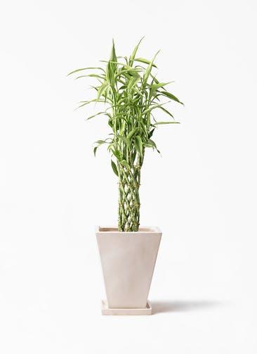 観葉植物 ドラセナ ミリオンバンブー(幸運の竹) 8号 スクエアハット 白 付き