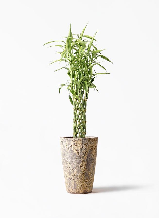 観葉植物 ドラセナ ミリオンバンブー(幸運の竹) 8号 アトランティス クルーシブル 付き