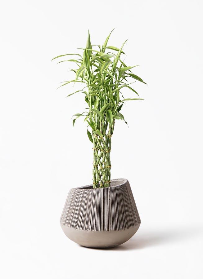 観葉植物 ドラセナ ミリオンバンブー(幸運の竹) 8号 エディラウンド グレイ 付き