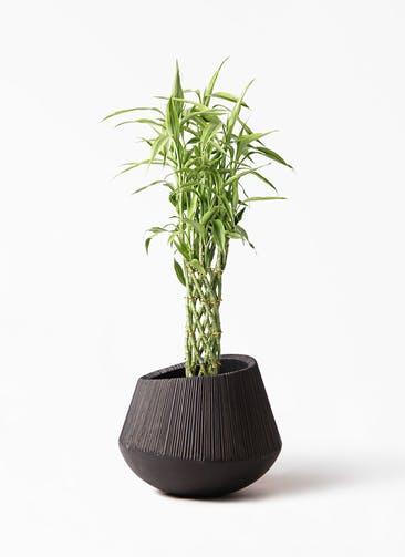 観葉植物 ドラセナ ミリオンバンブー(幸運の竹) 8号 エディラウンド 黒 付き
