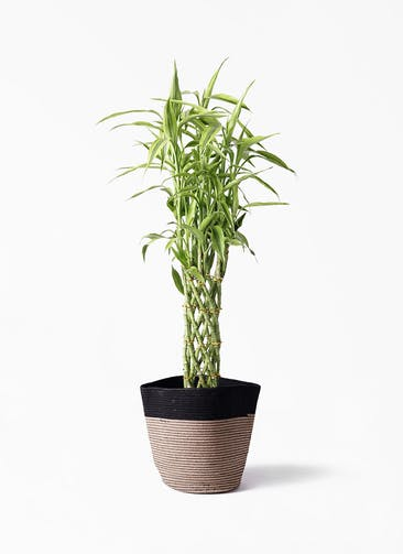 観葉植物 ドラセナ ミリオンバンブー(幸運の竹) 8号 リブバスケットNatural and Black 付き