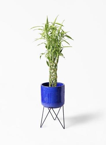 観葉植物 ドラセナ ミリオンバンブー(幸運の竹) 8号 ビトロ エンデカ ブルー アイアンポットスタンド ブラック 付き