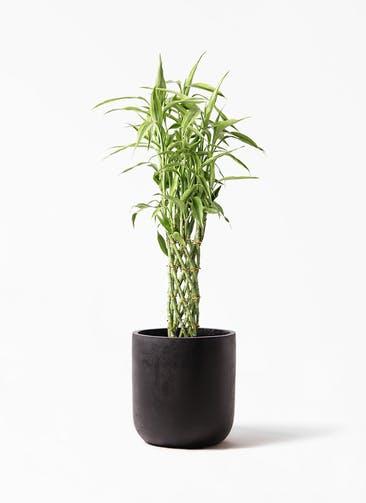 観葉植物 ドラセナ ミリオンバンブー(幸運の竹) 8号 エルバ 黒 付き