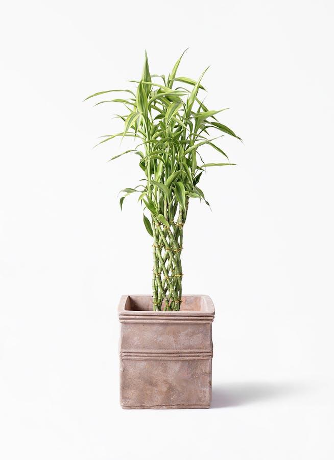 観葉植物 ドラセナ ミリオンバンブー(幸運の竹) 8号 テラアストラ カペラキュビ 赤茶色 付き