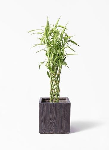 観葉植物 ドラセナ ミリオンバンブー(幸運の竹) 8号 ベータ キューブプランター ウッド 茶 付き