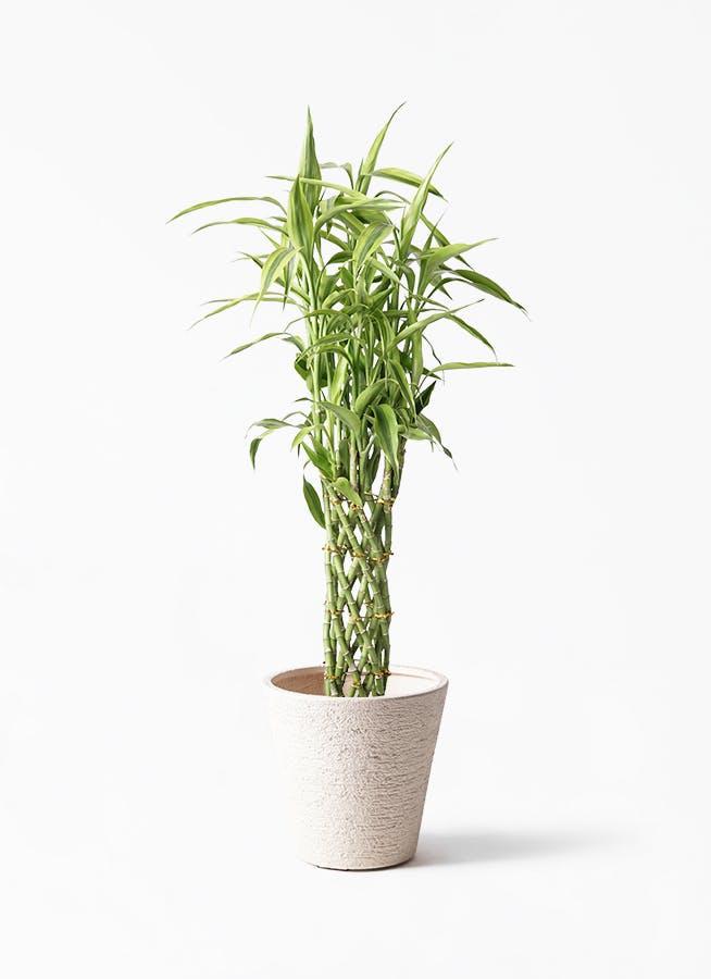 観葉植物 ドラセナ ミリオンバンブー(幸運の竹) 8号 ビアスソリッド 白 付き