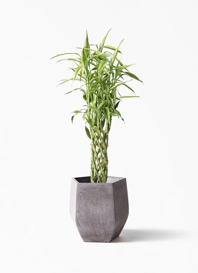 観葉植物 ドラセナ ミリオンバンブー(幸運の竹) 8号 ファイバークレイGray 付き