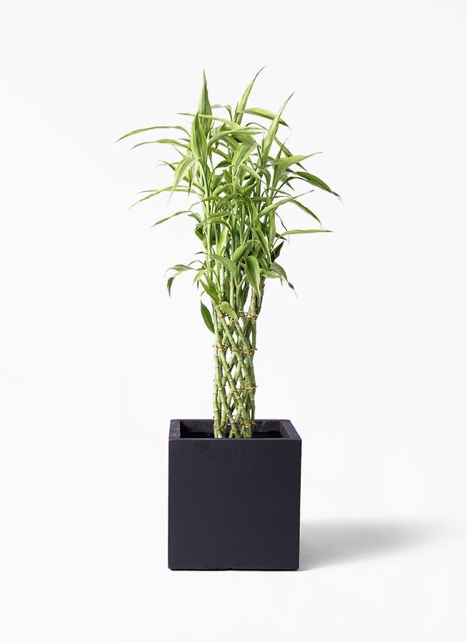 観葉植物 ドラセナ ミリオンバンブー(幸運の竹) 8号 ベータ キューブプランター 黒 付き