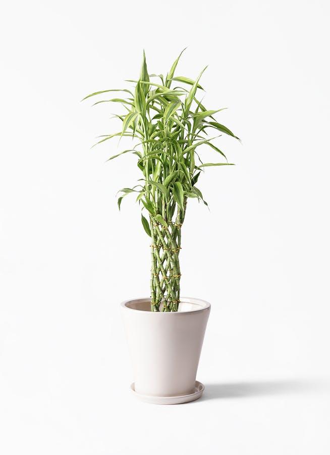 観葉植物 ドラセナ ミリオンバンブー(幸運の竹) 8号 サブリナ 白 付き