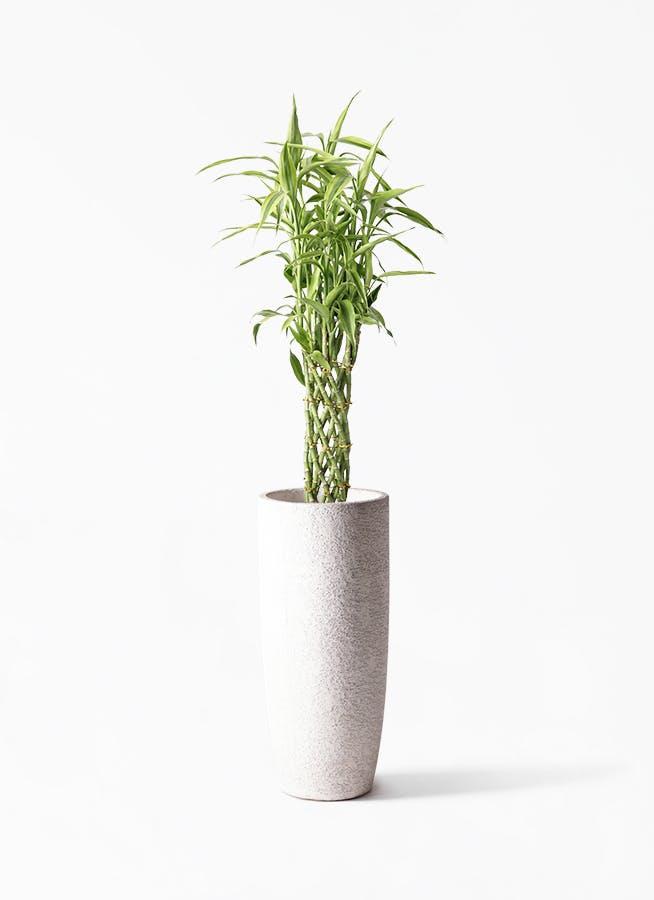 観葉植物 ドラセナ ミリオンバンブー(幸運の竹) 8号 エコストーントールタイプ white 付き