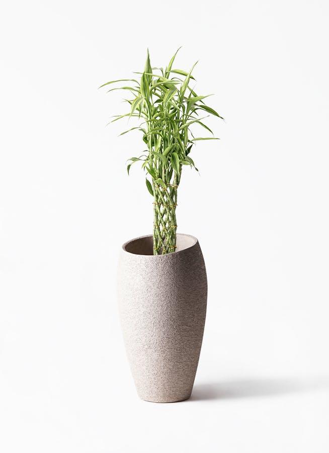 観葉植物 ドラセナ ミリオンバンブー(幸運の竹) 8号 エコストーントールタイプ Light Gray 付き