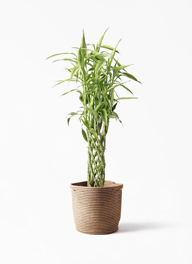 観葉植物 ドラセナ ミリオンバンブー(幸運の竹) 8号 リブバスケットNatural 付き