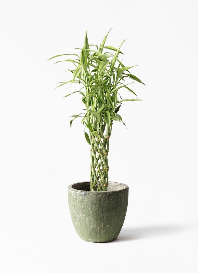 観葉植物 ドラセナ ミリオンバンブー(幸運の竹) 8号 アビスソニア ミドル 緑 付き