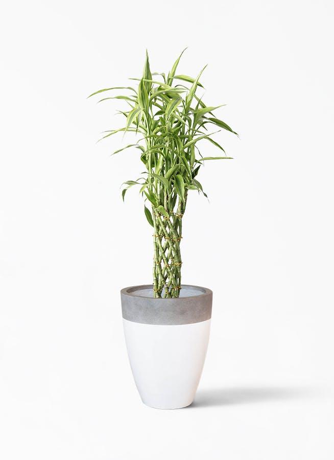観葉植物 ドラセナ ミリオンバンブー(幸運の竹) 8号 ファイバーストーン カプリ 白 付き