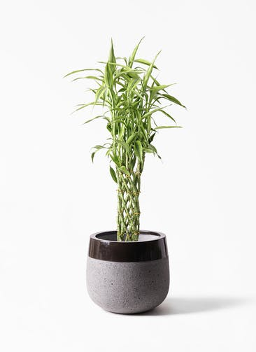 観葉植物 ドラセナ ミリオンバンブー(幸運の竹) 8号 ファイバーストーン タウルス ミドル 黒 付き