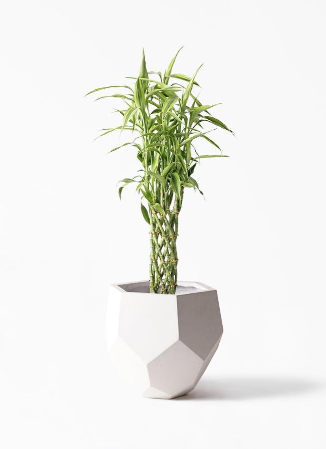 観葉植物 ドラセナ ミリオンバンブー(幸運の竹) 8号 ポリゴヘクサ 白 付き