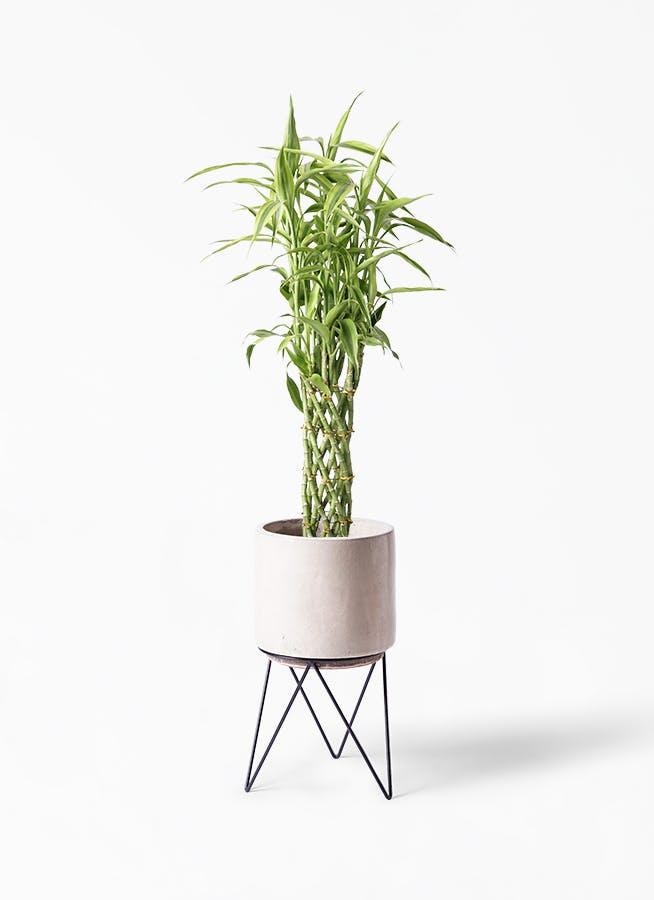 観葉植物 ドラセナ ミリオンバンブー(幸運の竹) 8号 ビトロ エンデカ クリーム アイアンポットスタンド ブラック 付き