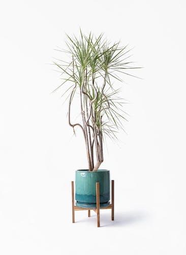 観葉植物 コンシンネ ホワイポリー 8号 曲り ビトロ エンデガ ターコイズ ウッドポットスタンド付き